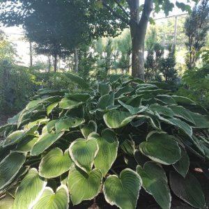 Rośliny do cienia i półcienia